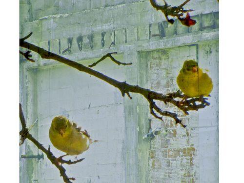 Yellow birde